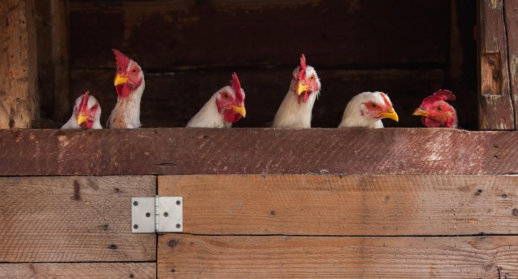 chickens talking